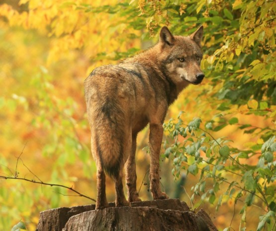 Kans is groot dat er komende dagen opnieuw zwervende wolf bij ons opduikt