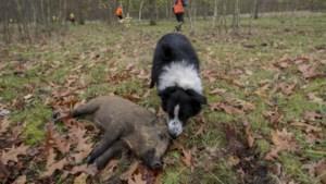 Nieuwe app moet jagers naar everzwijnen leiden