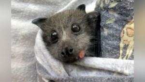 Schattig: jonge vliegende vos probeert voor de eerste keer een druif te eten