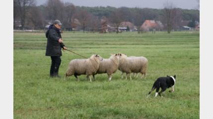 Finale schapendrijven dit weekend  in Pelt