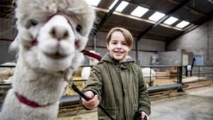 GOESTING. Parcours met alpaca's getest in Bocholt: spuwen ze of spuwen ze niet?