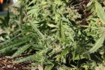 Drugs gevonden bij huiszoeking op Noordlaan