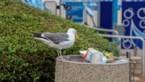 Junkfood heeft impact op darmen van stadsvogels