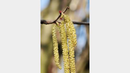 Hazelaaraanplant erkend als zaadbron