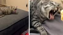 Deze kat kan niet tegen pikant voedsel en laat dat ook duidelijk merken