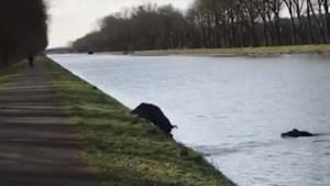 Rotte everzwijnen laat zich filmen terwijl ze kanaal in Rotem overzwemmen