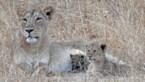 Leeuwin adopteert luipaardje