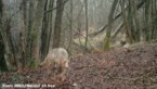 Noëlla is dan toch niet de kerstwolf: er zat of zit een derde wolf in Limburg