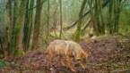 Wolf krijgt hoogste beschermingsstatus: Boerenbond wil ondersteuning veehouders