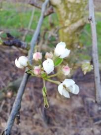 Perenbomen staan al in bloei