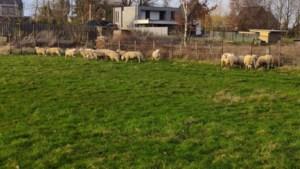 VZOC vangt 53 verwaarloosde schapen uit Tienen op
