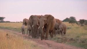 VUB-onderzoekers tonen aan hoe olifanten de leefbaarheid van de savanne in balans houden