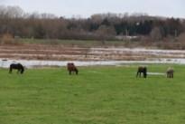 """""""Paardjes niet bedreigd door water"""""""