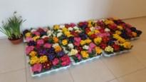 Kwekerij Lathouwers schenkt bloemen aan bewoners WZC Ludinaca