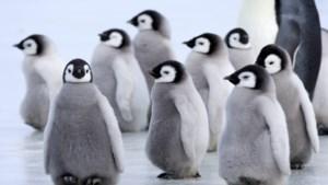 Biologen zoeken antwoord op vraag waarom er plots miljoen pinguïns minder zijn