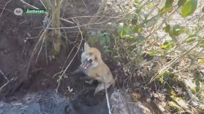 Hond alarmeert wandelaar voor vos in strop in Zonhoven