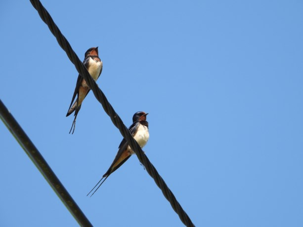 Limburgs Landschap: Hoopvolle zwaluw
