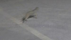 Brutale nieuwe wolf wandelt doodleuk over terrein betoncentrale