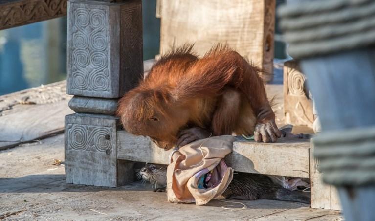 Schattig: orang-oetans spelen met otters in Pairi Daiza