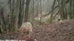 """Waarnemingen van """"minstens één nieuwe wolf"""" in Antwerpse Kempen"""