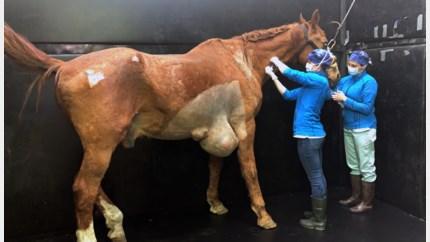 Lummense paardendokter haalt tumor van 15 kg weg bij 28 jaar oude ruin