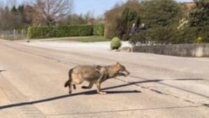 Nieuwe Antwerpse wolf steekt als allereerste Albertkanaal over