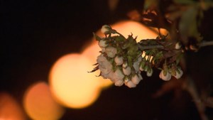Fruittelers proberen oogst te redden met vuurkorven