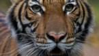 Tijger in New Yorkse zoo besmet met coronavirus