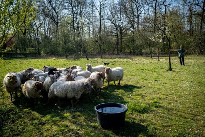 Hasselt zet schapen in voor groenonderhoud