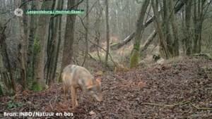 Limburgse wolf gespot aan Kamperbaan in Hechtel