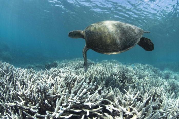 Great Barrier Reef staat voor zijn zwaarste verblekingsperiode