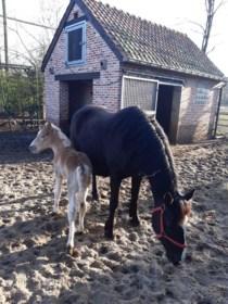 Veulen-'babyboom' in VZOC in Heusden: drie geboren, nog drie onderweg