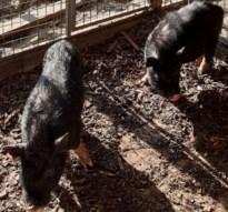 Twee 'lastige' hangbuikvarkens dag na vangst al geadopteerd