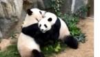 Eindelijk privacy: tijdens de lockdown willen deze panda's wél paren
