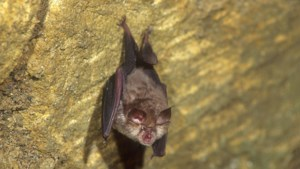 Uitgestorven vleermuis duikt na 25 jaar weer op in Riemst en West-Vlaanderen