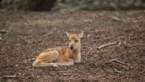 In Pairi Daiza is een in het wild uitgestorven pater-davidshert geboren