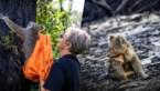 Heuglijk moment na bosbranden Australië: verbrande koala's keren terug naar het wild