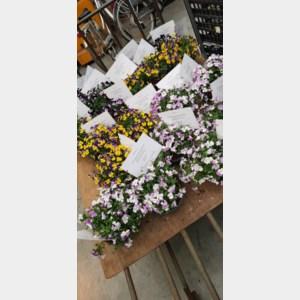 Buurtcomité Rosmeerweg doet alle gezinnen bloemetje cadeau