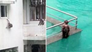 Aapjes houden poolparty in hotel dat verlaten is door coronamaatregelen
