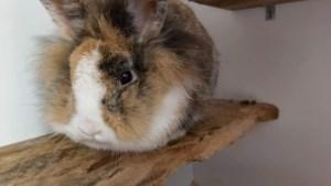 VZOC verwacht babyboom bij konijnen na inbeslagname van 118 konijnen in Mol