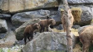 Superschattig: twee met uitsterven bedreigde takins geboren in Pairi Daiza