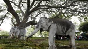 Zeldzame olifant gestroopt voor haar slurf in Indonesië