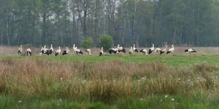 27 ooievaars gespot in natuur van Hechtel-Eksel
