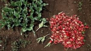 Opvallende beelden: 100.000 tulpen kapotgemaakt om samenscholing te vermijden