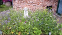 Geen verdeling van gratis veldbloemenzaad in Hamont-Achel