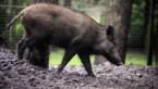 Stad Genk verpacht bos aan jagers in strijd tegen everzwijnen