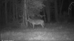 'Big brother' in onze bossen: overheid wil wolvenwelpen koste wat het kost beschermen