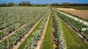 Drones verbeteren groeiproces Limburgs fruit