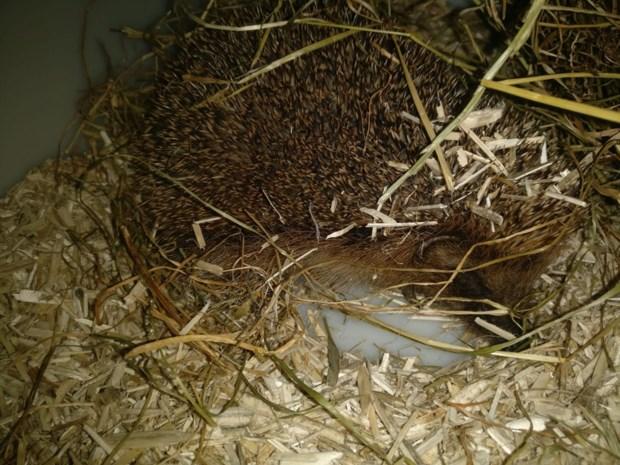 Politie neemt egel in beslag die al twee jaar opgesloten zat in kattenhok