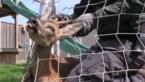 Natuurhulpcentrum moet ree uit voetbalgoal bevrijden